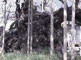 山高神代桜の幹のアップ2