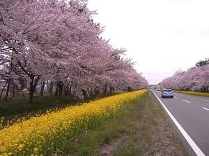 八郎潟11kmの菜の花と桜並木 道の左側