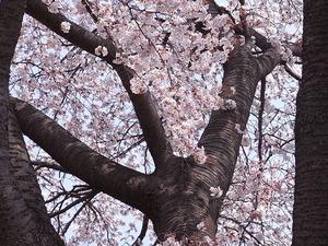 つがの里桜の枝振りアップ