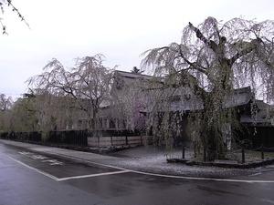 角館 ピークが過ぎてしまった早朝角館樺細工伝承館の枝垂れ桜