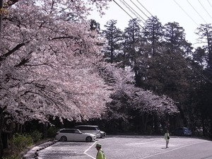 太平山謙信平駐車場を取り囲む桜を上から