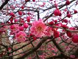 梅が満開水戸偕楽園15