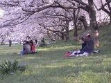 幸手権現堂堤の桜06