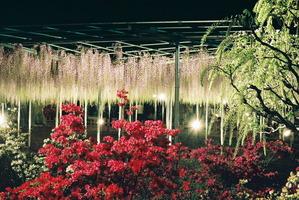 あしかがフラワーパークライトアップで浮かび上がる藤の花とつつじ