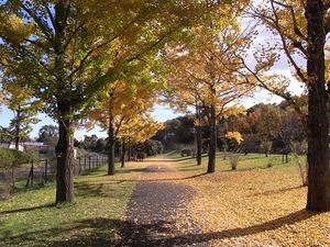 国営昭和記念公園のイチョウの並木道02