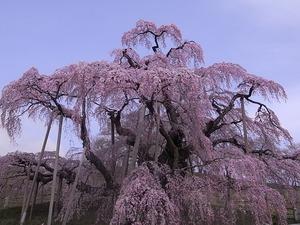 満開の三春滝桜メイン写真