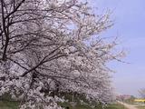 満開の桜並木アップ1
