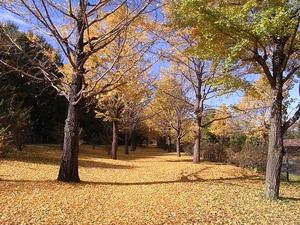 国営昭和記念公園のイチョウの並木道01