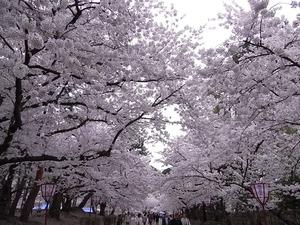 弘前城追手門から入り二の丸に向かう道に咲く満開の桜
