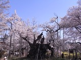 山高神代桜のアップ4