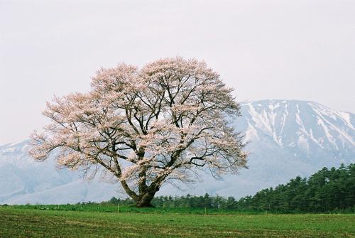 岩手山をバックに満開の花を咲かせた小岩井農場一本桜
