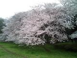 砧公園の桜14