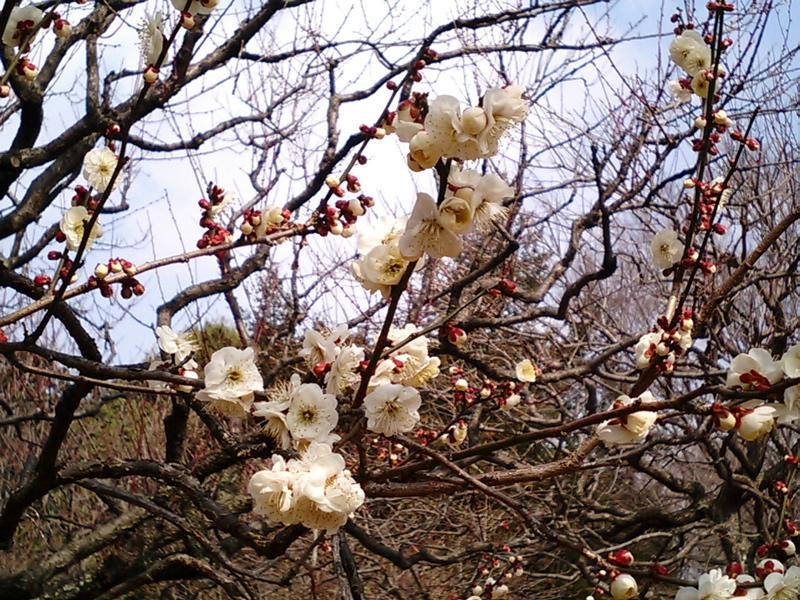 小金井公園梅林の梅まつり3 ...