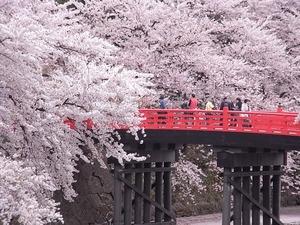 弘前城杉の大橋とその周りの満開の桜