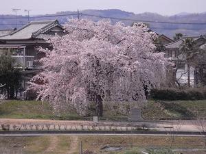 思川土手の桜並木から見る1本桜
