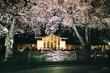 自由学園の夜桜2