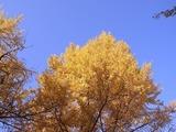 イチョウの木を望む2