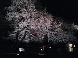 自由学園明日館の夜桜07