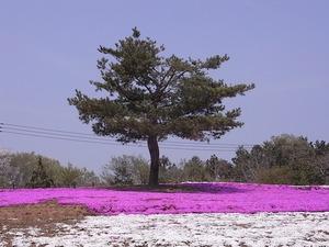 太田市北部運動公園 おおた芝桜まつり 松の木と芝桜