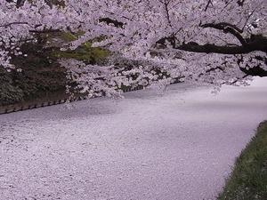 弘前城のお堀を埋め尽くした桜の花びらと桜