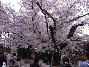 弘前城日本一太いソメイヨシノの中心部
