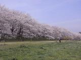 満開の桜並木全景