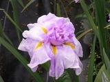 ピンクの花菖蒲1