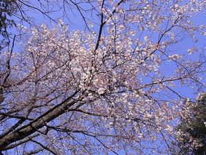太平山 謙信平の桜アップ3