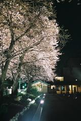 自由学園の夜桜1