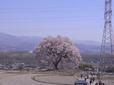 王仁塚の桜に近づく