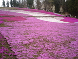 羊山公園の芝桜13