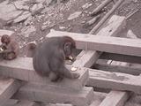 猿のお食事タイム2
