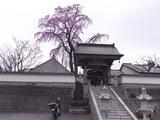 法華寺の桜1