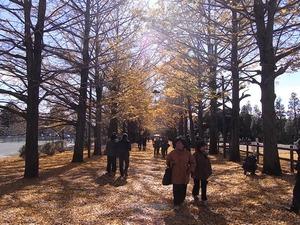 昭和記念公園うんどう広場近くのイチョウ並木01
