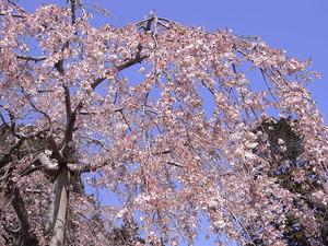 太平山 太山寺 枝垂桜アップ1