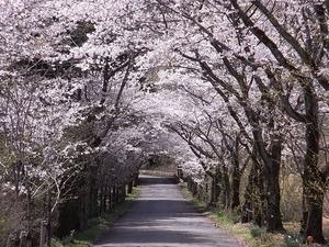 太平山遊覧道路 桜のトンネル8