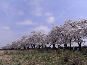 北上展勝地 一列に並んだ満開の桜並木