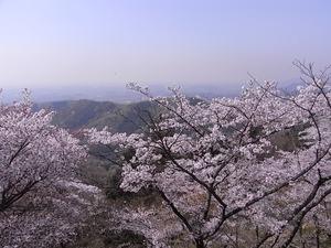 太平山謙信平からの眺めと桜2