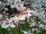 砧公園の桜19