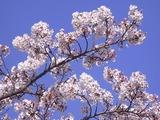 大法師公園の桜3