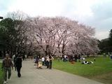 砧公園の桜01