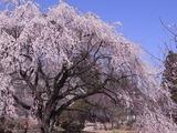 実相寺境内の桜たち1