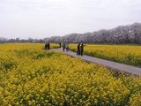 菜の花畑の遊歩道1