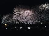 自由学園明日館の夜桜09