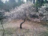 梅が満開水戸偕楽園06