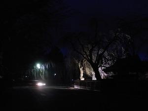 日暮れにライトアップされた角館武家屋敷のしだれ桜もまだ咲く前3