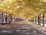 立川口前のイチョウ並木1