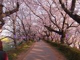 幸手権現堂堤の桜14