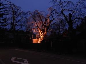 人通りも少ない日の暮れた角館武家屋敷通りと咲いていないしだれ桜をライトアップ