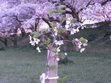 幸手権現堂堤の桜17